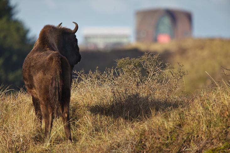 Wisent kijkt naar Zandvoort. Foto: Ruud Maaskant