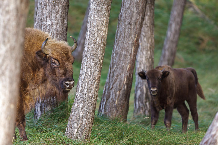 Bison in the forest with calf. Photo: Ruud Maaskant