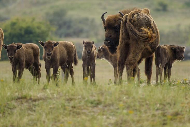Five new born European bison calves in Kraansvlak dune area. Photo: Ruud Maaskant